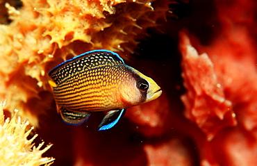 Splendid Dottyback, Pseudochromis splendens, Indonesia, Raja Ampat, Irian Jaya, West Papua, Indian Ocean