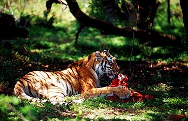 Bengal Tiger eating prey, Panthera tigris tigris, India, Bandhavgarh National Park Madhya Pradesh