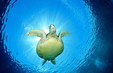 Green sea turtle, green turtle, Chelonia mydas, Malaysia, Pazifik, Pacific ocean, Borneo, Sipadan - 759-29