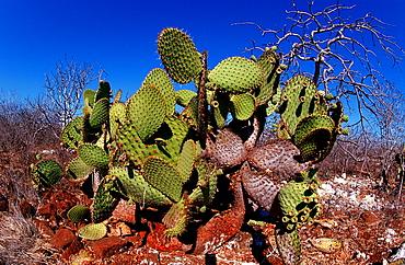 Giant Prickly Pear Cactus, Opuntia echios, Ecuador, South America, Galápagos, Galapagos, Island, Plaza Sur