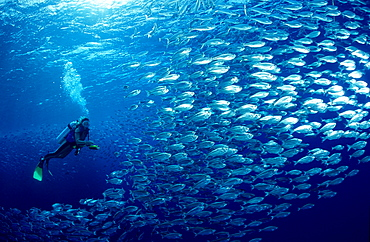 shoal of fishes, schooling fishes and scuba diver, Egypt, Red Sea, Brother Islands, Brothers, El Akhawein