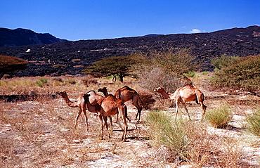 Dromedaries, Camelus dromedarius, Djibouti, Djibuti, Africa, Afar Triangle
