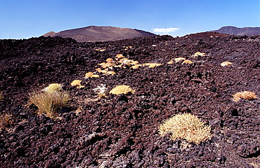 Plants in the desert, Djibouti, Djibuti, Africa, Afar Triangle