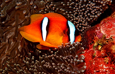 Twobar anemone fishes with eggs, Amphiprion bicinctus, Djibouti, Djibuti, Africa, Afar Triangle, Gulf of Aden, Gulf of Tadjourah