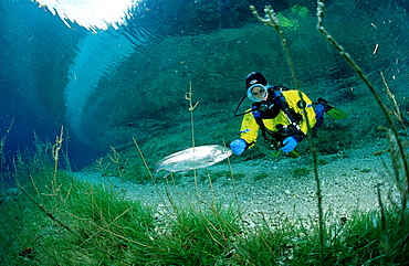 Scuba Diver in a mountain lake and a rainbow trout, Oncorhynchus mykiss, Austria, Steiermark, Gruener See