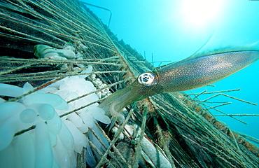 Reef squid with eggs, Sepiotheuthis australis, Malaysia, Pazifik, Pacific ocean, Borneo, Mabul