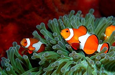 Clown anemonefish, Clownfish, Amphiprion ocellaris, Malaysia, Borneo, Sipadan, Pacific ocean, Celebes Sea