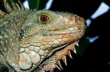 Green leguan, green iguana, Iguana iguana, Costa Rica,