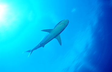 Silvertip shark, Carcharhinus albimarginatus, Papua New Guinea, Pacific ocean