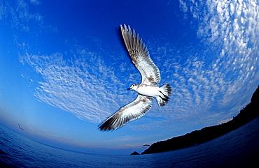 gull, Larus argentatus, Norway, Atlantic ocean, north atlantic ocean