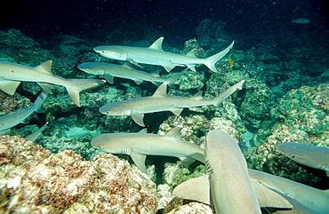 Hunting Whitetip reef shark, Triaenodon obesus, Costa Rica, Pacific Ocean, Cocos Island, Latin america