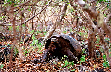 Giant Tortoise of Santa Cruz, Indefatigable, Geocheione elephantopus, Ecuador, South America, Galápagos, Santa Cruz, Galapagos, Island