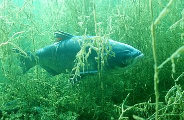 grass carp, Ctenopharyngodon idella, Germany, Bavaria