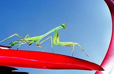 Praying mantis, Mantidae, Bahamas, Caribbean Sea, Cat Island