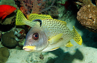 Blackspotted sweetlip (Plectorhinchus gaterinus) with cleaner wrasse (Labroides dimidiatus), Sudan, Red Sea, Africa
