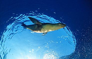 Californian sea lion (Zalophus californianus), California, United States of America, Pacific Ocean, North America