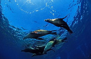 Group of Californian sea lions (Zalophus californianus), California, United States of America, Pacific Ocean, North America