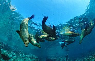 Group of Californian sea lions (Zalophus californianus), La Paz, Baja California, Mexico, Sea of Cortez, North America