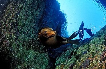 Californian sea lion (Zalophus californianus), La Paz, Baja California, Mexico, Sea of Cortez, North America