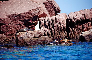 Californian sea lion (Zalophus californianus) on island, La Paz, Baja California, Mexico, Sea of Cortez, North America