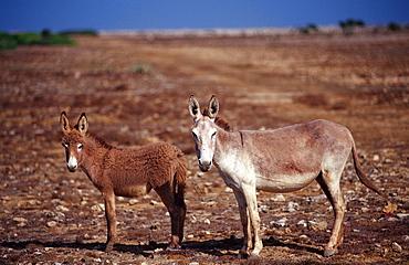 Wild donkeys, Netherlands Antilles, Bonaire, Bonaire