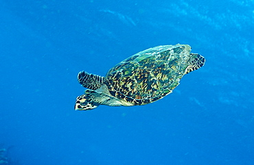 Hawksbill sea turtle, Eretmochelys imbricata, Martinique, French West Indies, Caribbean Sea