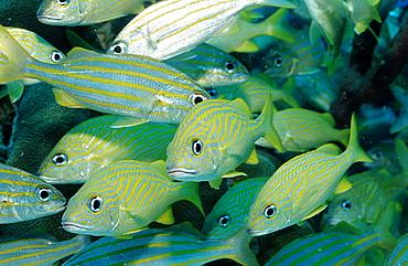 French Grunt, Smallmouth grunt, Haemulon flavolinatum, Haemulon chrysargyreum, Guadeloupe, French West Indies, Caribbean Sea