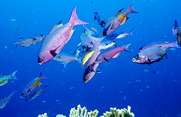 Creole Wrasse, Clepticus parrai, Guadeloupe, French West Indies, Caribbean Sea