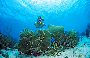 Snorkeler surveys coral reef, Guadeloupe, French West Indies, Caribbean Sea
