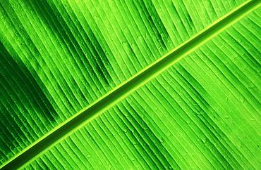 Green Palm Detail, Papua New Guinea, New Britain, Kimbe Bay