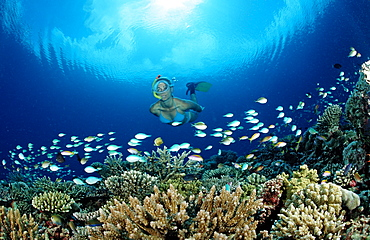 Snorkeling over Coral Reef, Maldives, Indian Ocean, Meemu Atoll