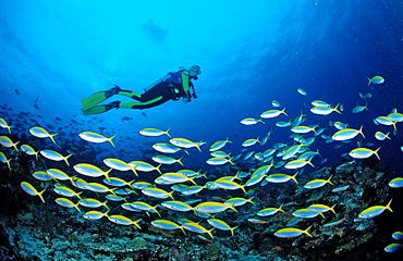 Shoal of Yelloback Fusiliers and Diver, Caesio teres, Maldives, Indian Ocean, Meemu Atoll
