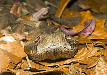Gaboon Viper, Bitis gabonica, Gabon, West Africa