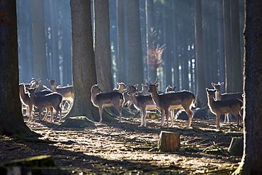 Fallow deers, Dama dama, Germany, Bavaria