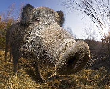Wild boar , Sus scrofa, Germany, Bavaria