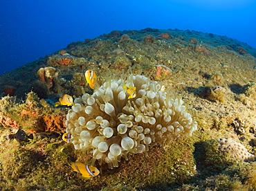 Endemic Anemonefishes at bottom up laying USS Arkansas Battleship, Marshall Islands, Bikini Atoll, Micronesia, Pacific Ocean