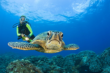 Green Turtle and Diver, Chelonia mydas, Maui, Hawaii, USA - 759-5980