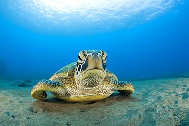 Green Turtle, Chelonia mydas, Maui, Hawaii, USA - 759-5985