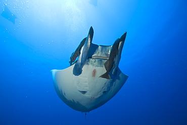 Sicklefin Mobula with Remora, Mobula tarapacana, Azores, Princess Alice Bank, Atlantic Ocean, Portugal
