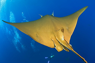 Sicklefin Mobula, Mobula tarapacana, Azores, Princess Alice Bank, Atlantic Ocean, Portugal