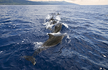 Bottlenose Dolphin, Tursiops truncatus, Azores, Atlantic Ocean, Portugal