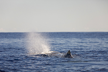 Sperm Whale at Water Surface, Physeter catodon, Azores, Atlantic Ocean, Portugal