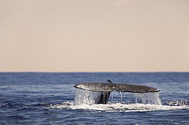 Sperm Whale Fluke, Physeter catodon, Azores, Atlantic Ocean, Portugal