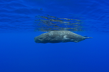 Young Sperm Whale, Physeter catodon, Azores, Atlantic Ocean, Portugal