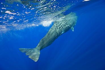 Sperm Whale, Physeter catodon, Azores, Atlantic Ocean, Portugal