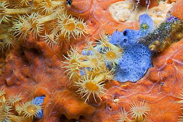 Yellow Cluster Anemone on red Sponge, Parazoanthus axinellae, Tamariu, Costa Brava, Mediterranean Sea, Spain