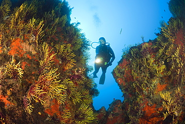Scuba Diver and Variable Gorgonians, Paramuricea clavata, Tamariu, Costa Brava, Mediterranean Sea, Spain