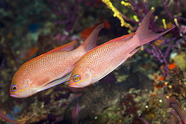 Mediterranean Anthias, Anthias anthias, El Medallot, Medes Islands, Costa Brava, Mediterranean Sea, Spain