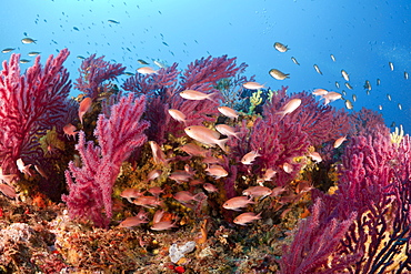 Red Anthias and Variable Gorgonians, Anthias anthias, Paramuricea clavata, Carall Bernat, Medes Islands, Costa Brava, Mediterranean Sea, Spain