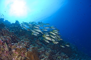 Shoal of One-spot Snapper, Lutjanus monostigma, Ulong Channel, Micronesia, Palau